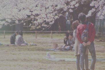 Hanami: watching the cherry blossoms
